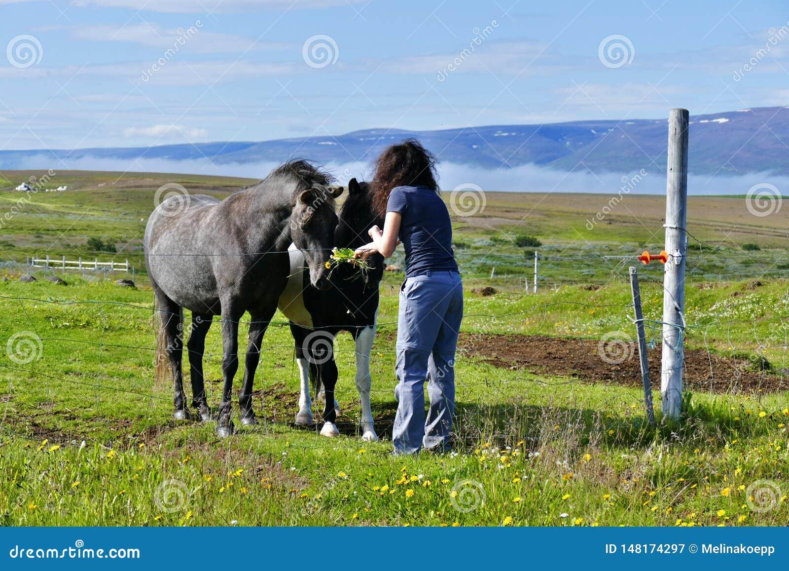 Woman feeding two beautiful icelandic horses on a pasture near Husavik