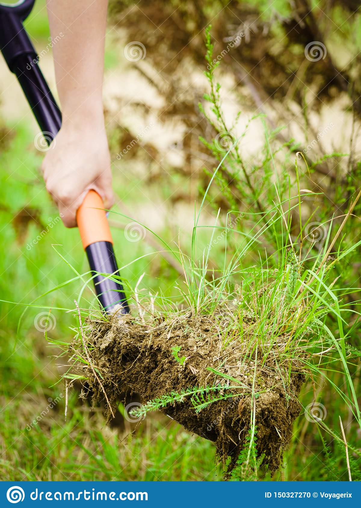 Woman Remove Tree From Backyard, Digging Soil With Shovel ...