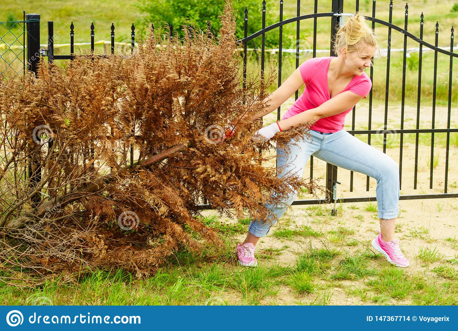 Woman Removing Dried Thuja Tree From Backyard Stock Photo ...