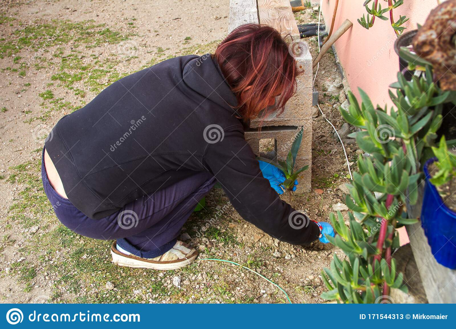 Woman Gardening In The Garden By Planting Aloe Vera Plants Next To