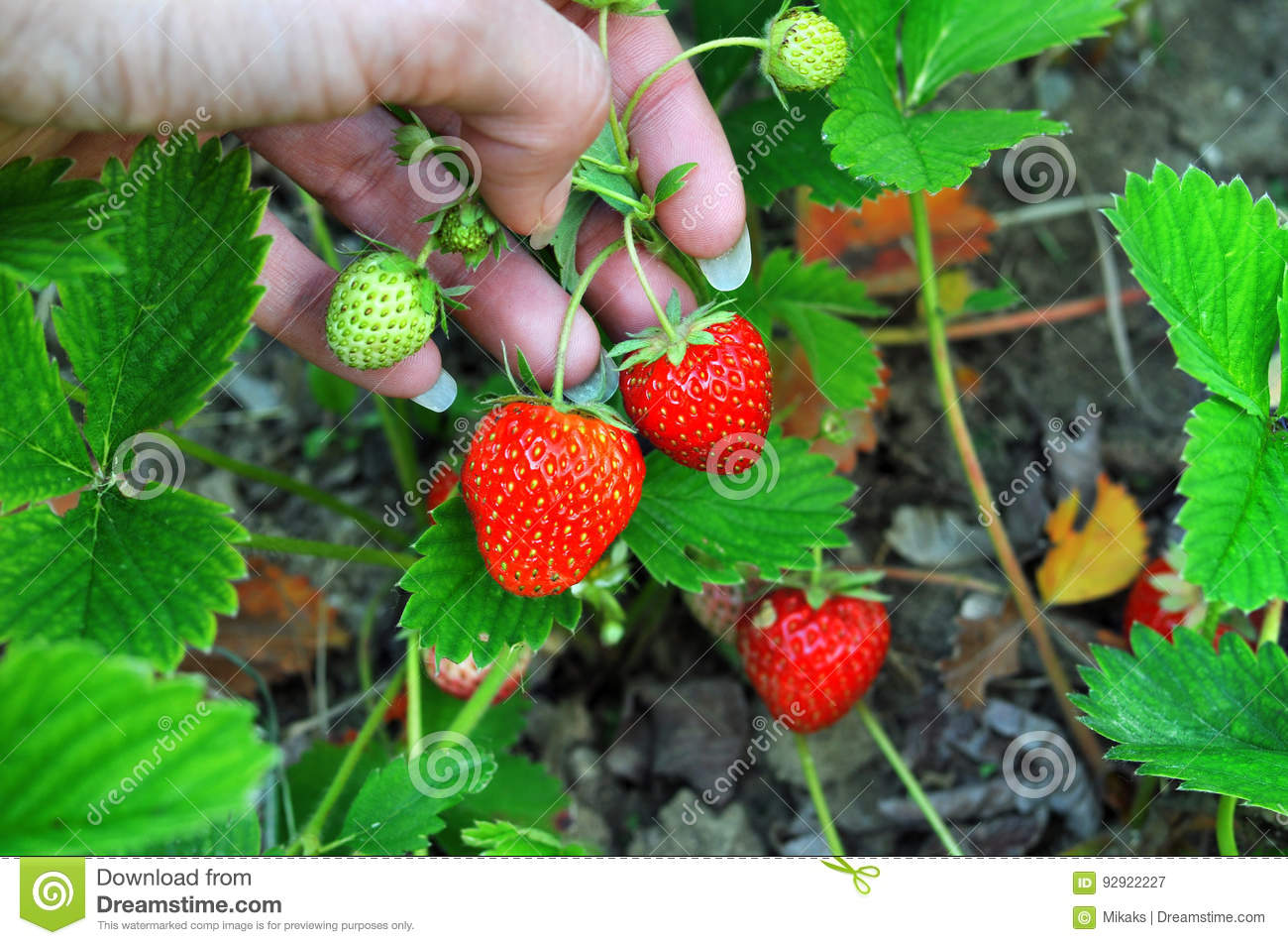 Woman hand with fresh strawberries collected in the garden. Fresh organic strawberries growing on the field.