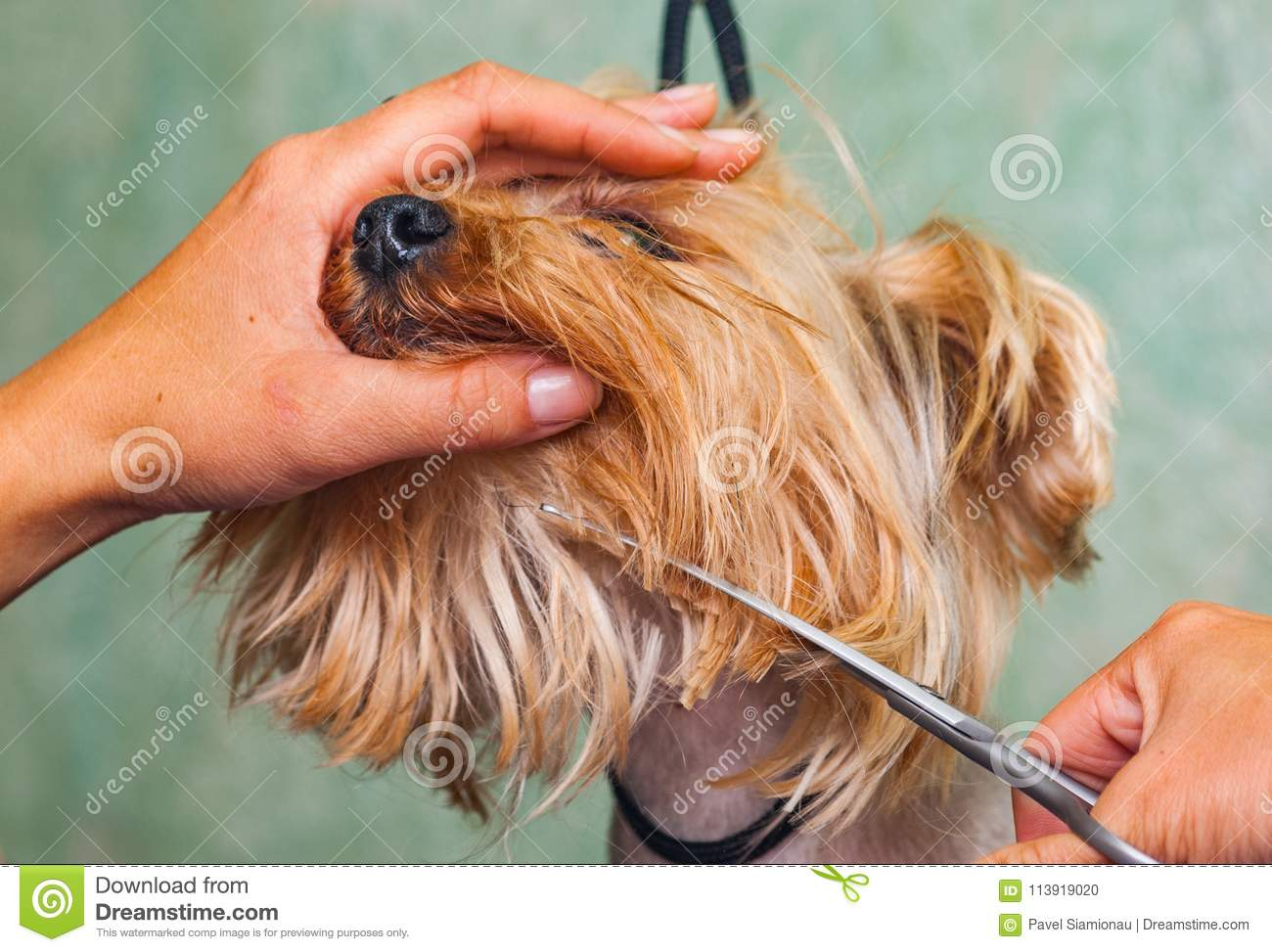 Woman Hand Grooming Yorkshire Terrier Dog Stock Photo Image Of