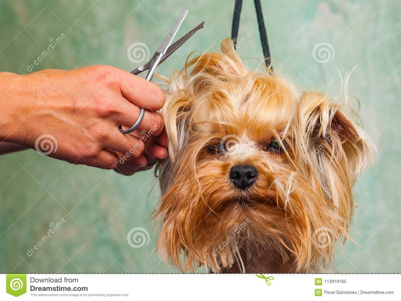 Woman Hand Grooming Yorkshire Terrier Dog Stock Image Image Of