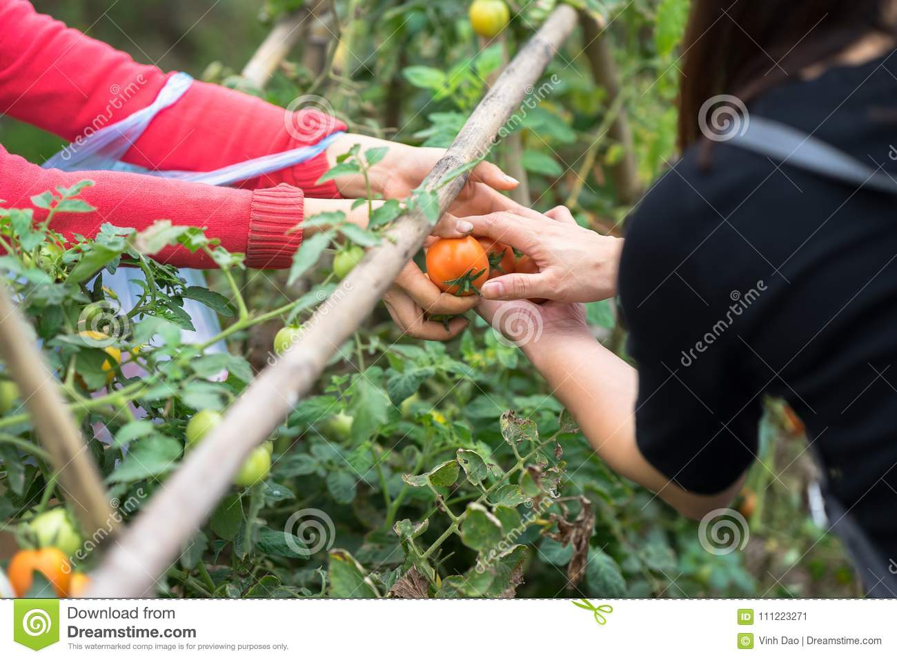 Woman hands hold fresh tomatoes giving and other hands receiving on cultivated field