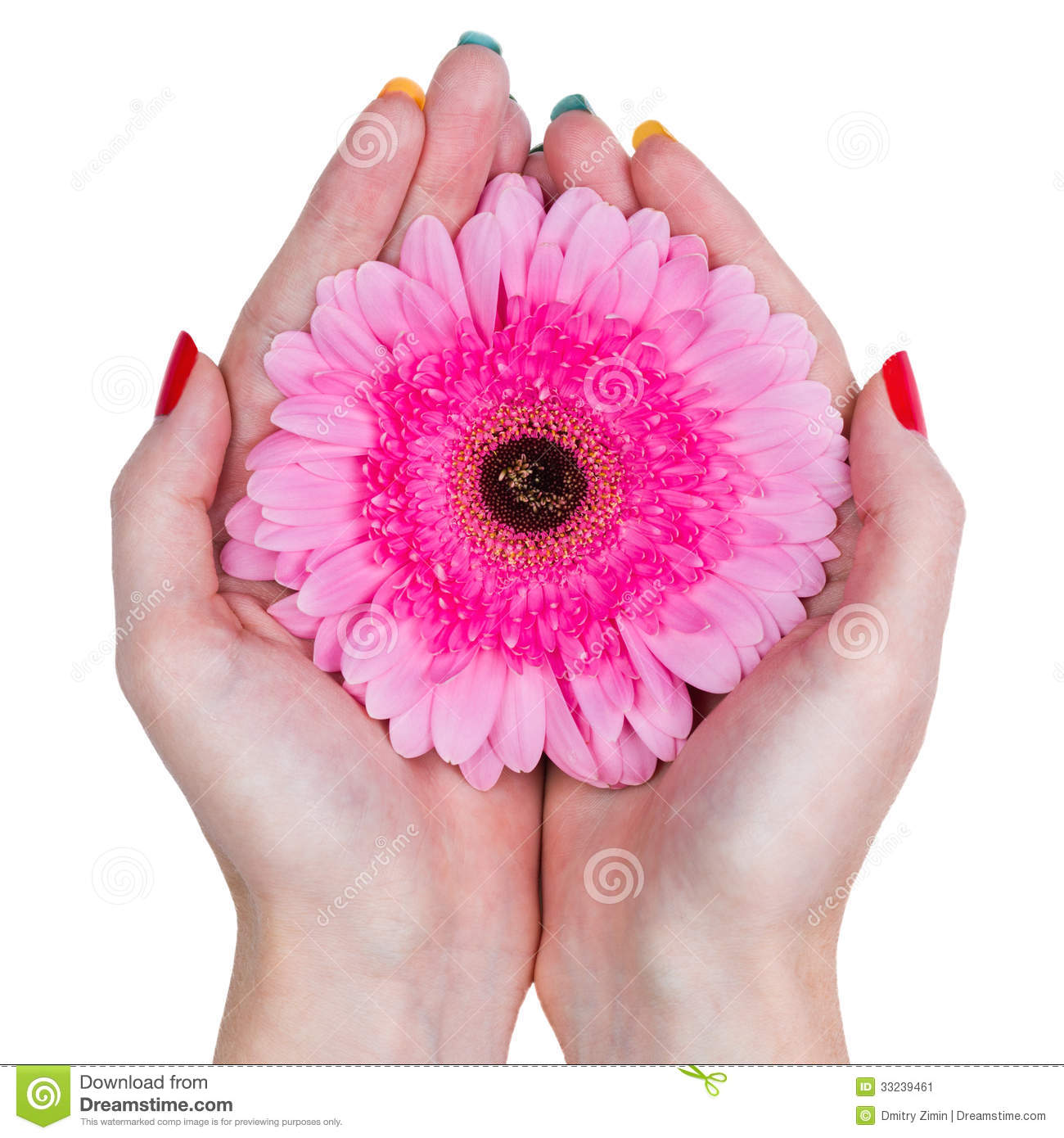 Woman Hands Holding A Pink Flower Isolated On White Background Stock
