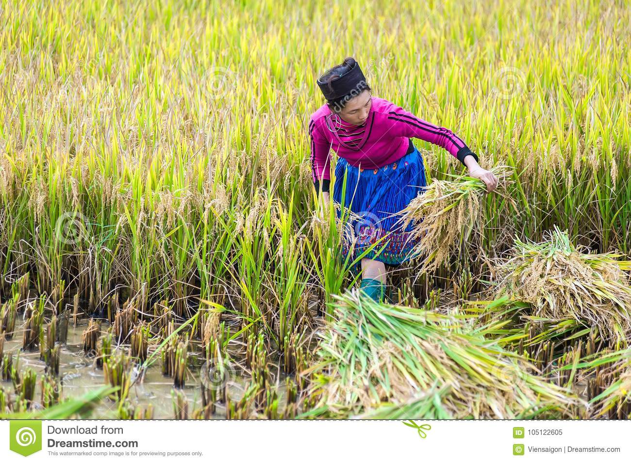 Farmer Harvest Rice In Paddy Field Vector Design Royalty Free Cliparts,  Vectors, And Stock Illustration. Image 104725952.