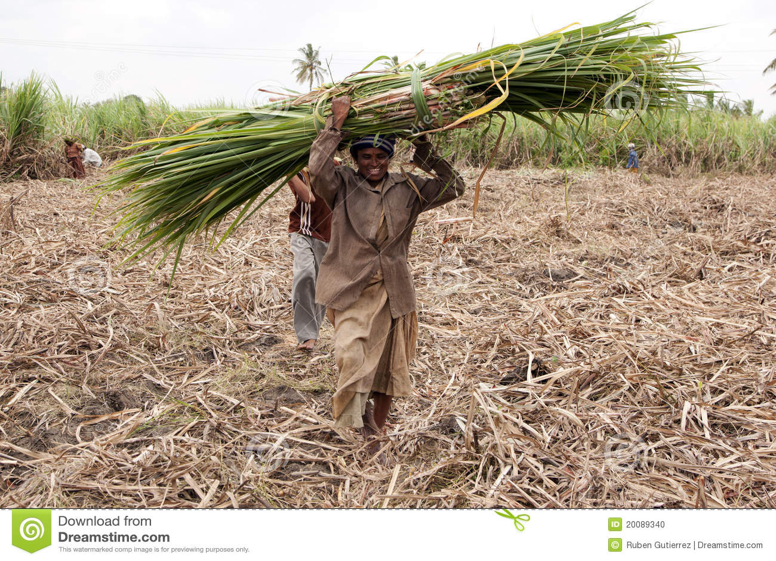 How to Harvest Sugar Cane photo