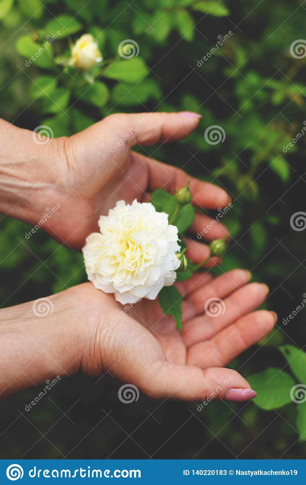 Woman holding a beautiful pink rose flower in her hands sitting in blooming summer garden