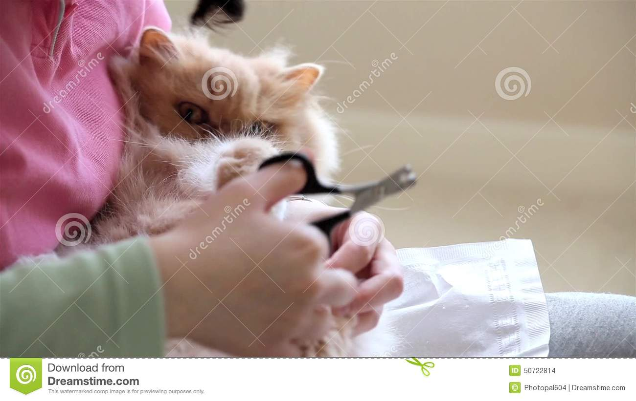 Woman Holding Persian Cat In Her Arm And Cutting Her Nails Stock ...