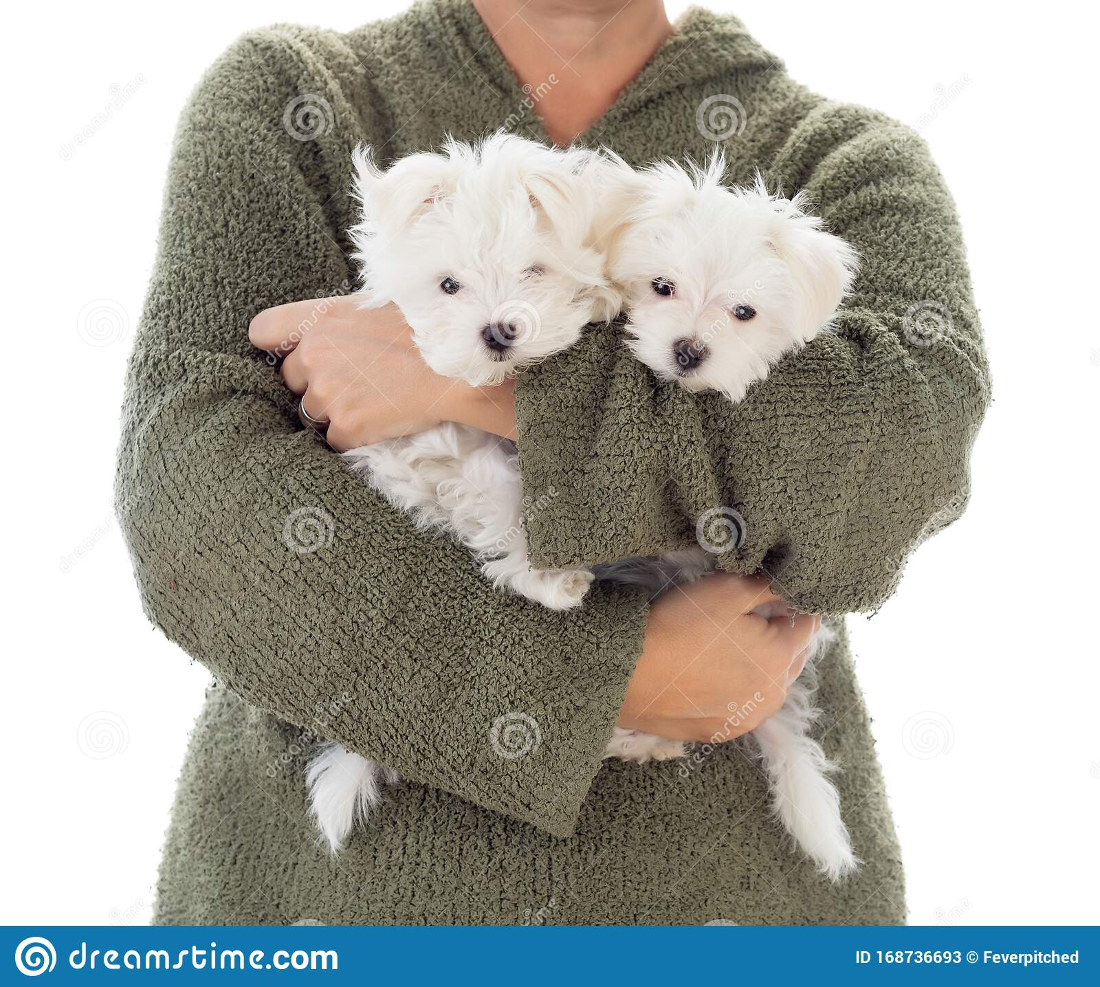 391 Maltese Puppies Photos Free Royalty Free Stock Photos From Dreamstime