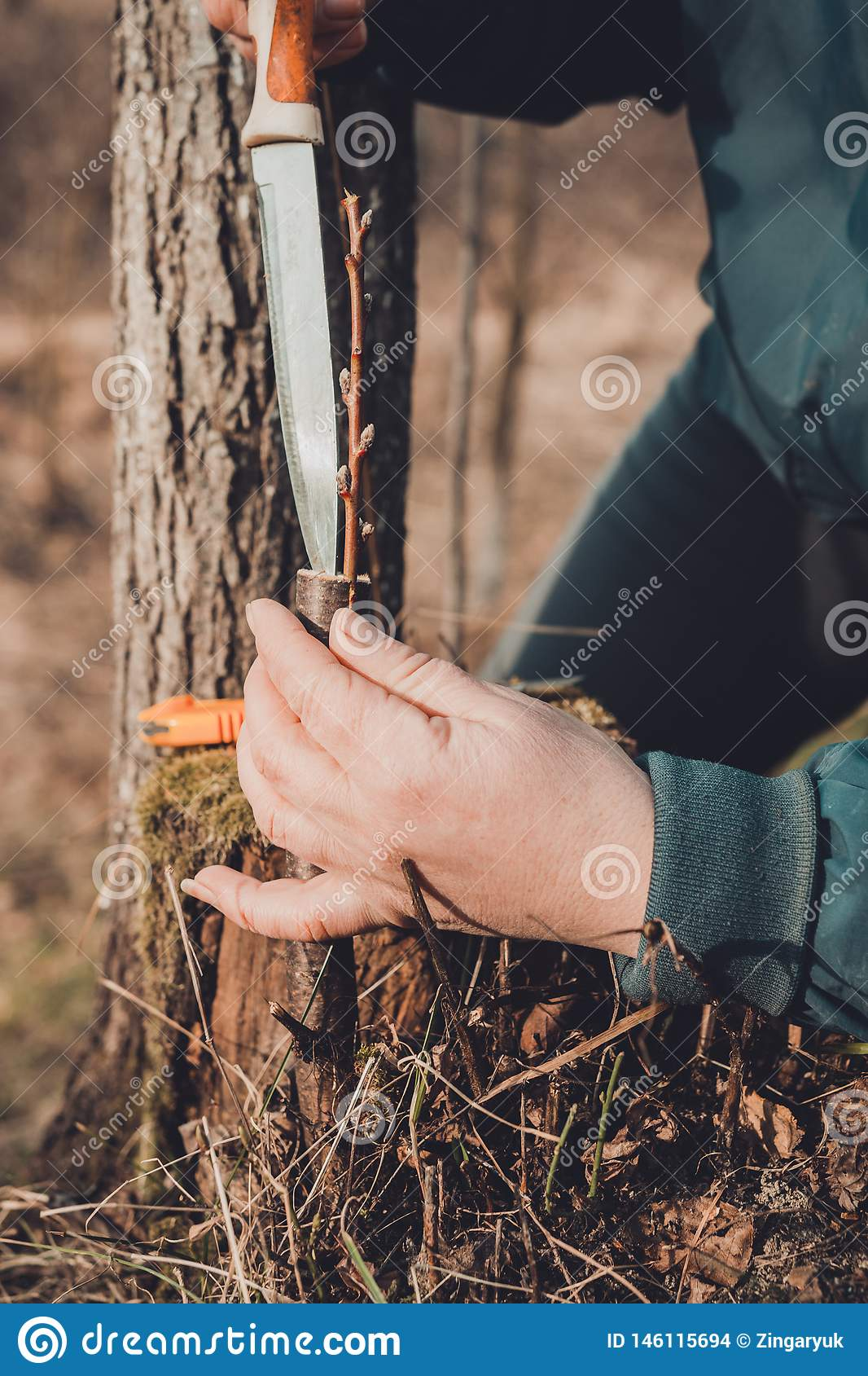A woman makes a fruit tree in the garden and attaches a young twig