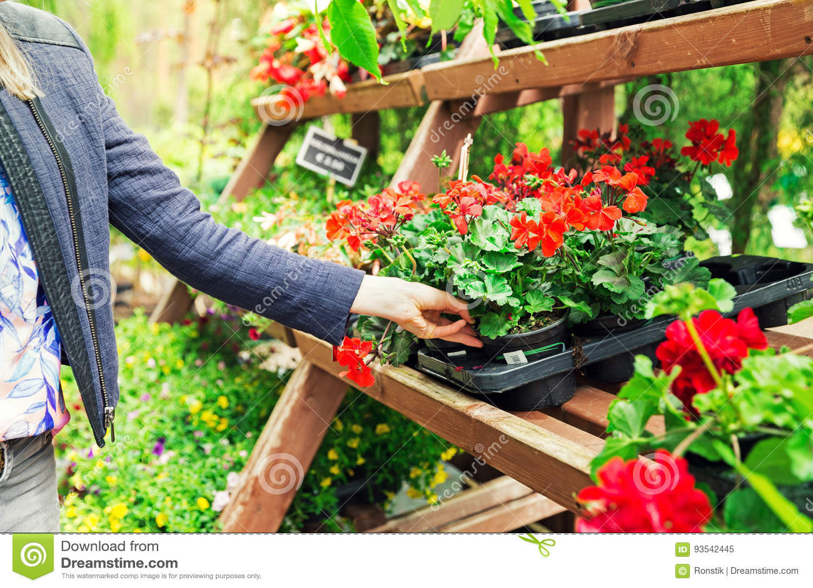 Woman Pick Pelargonium Geranium Flower From Shelf At Garden Plan