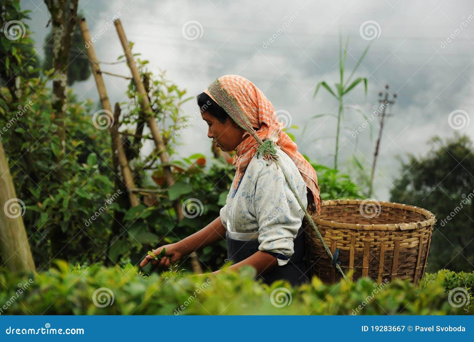 Woman pick tea leafs, Darjeeling, India