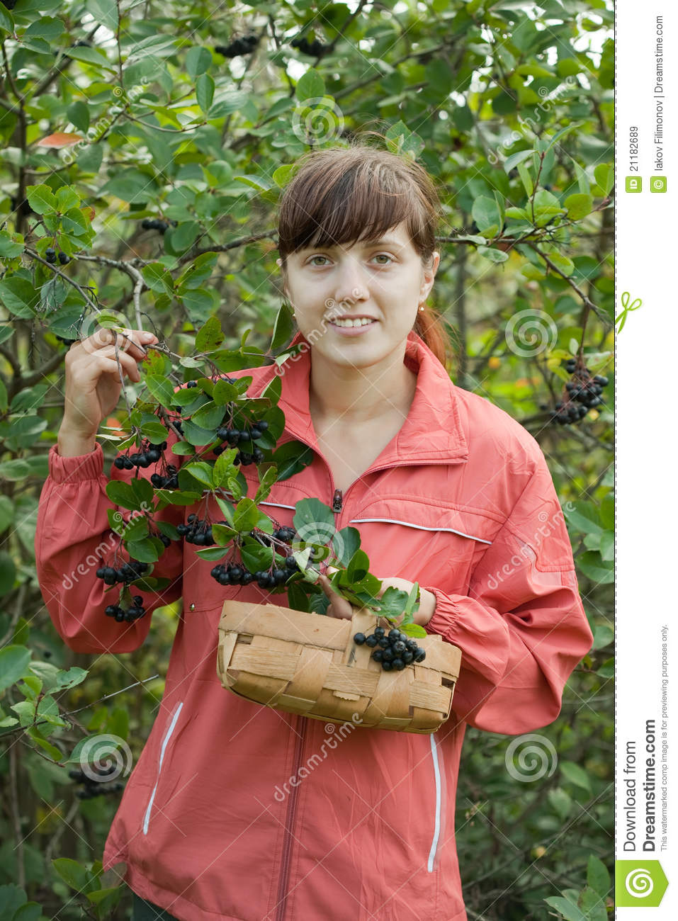 Woman picking chokeberry