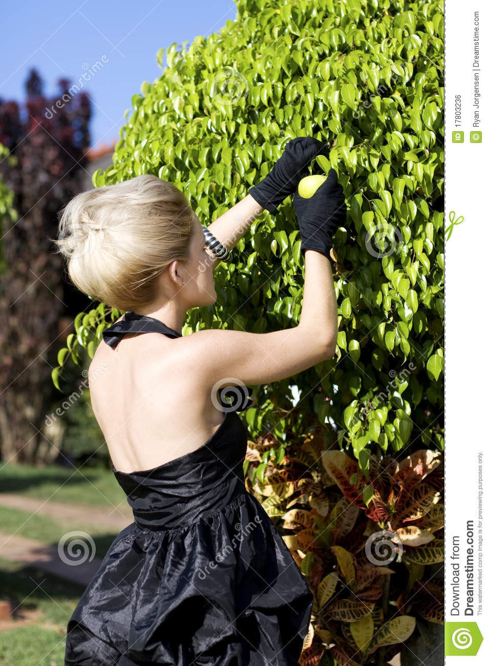 Woman Picking Fruit Royalty Free Stock Image Image 17803236