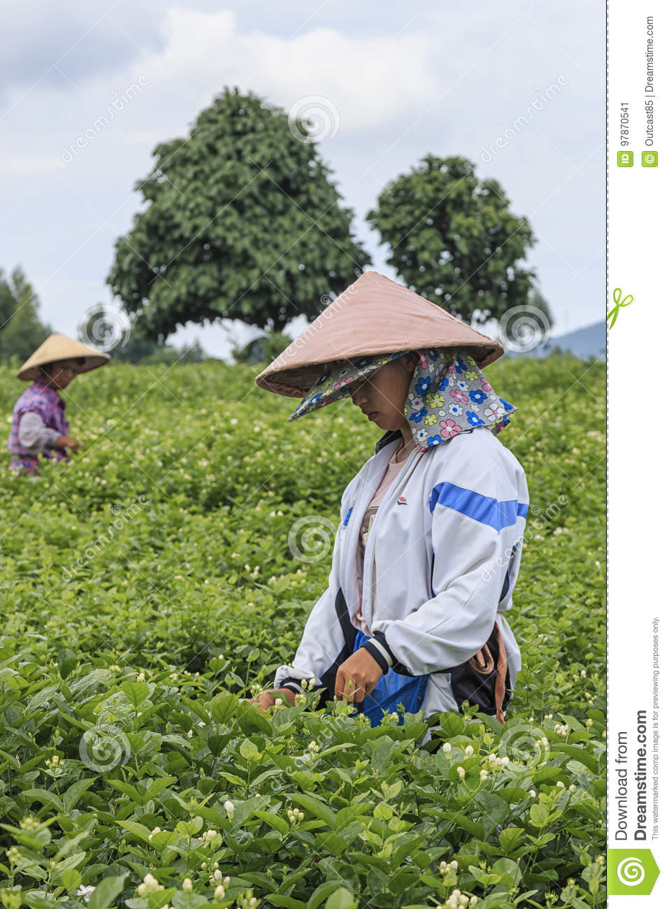 Woman Picking Jasmine Flowers In A Jasmine Plantation In Hengxian