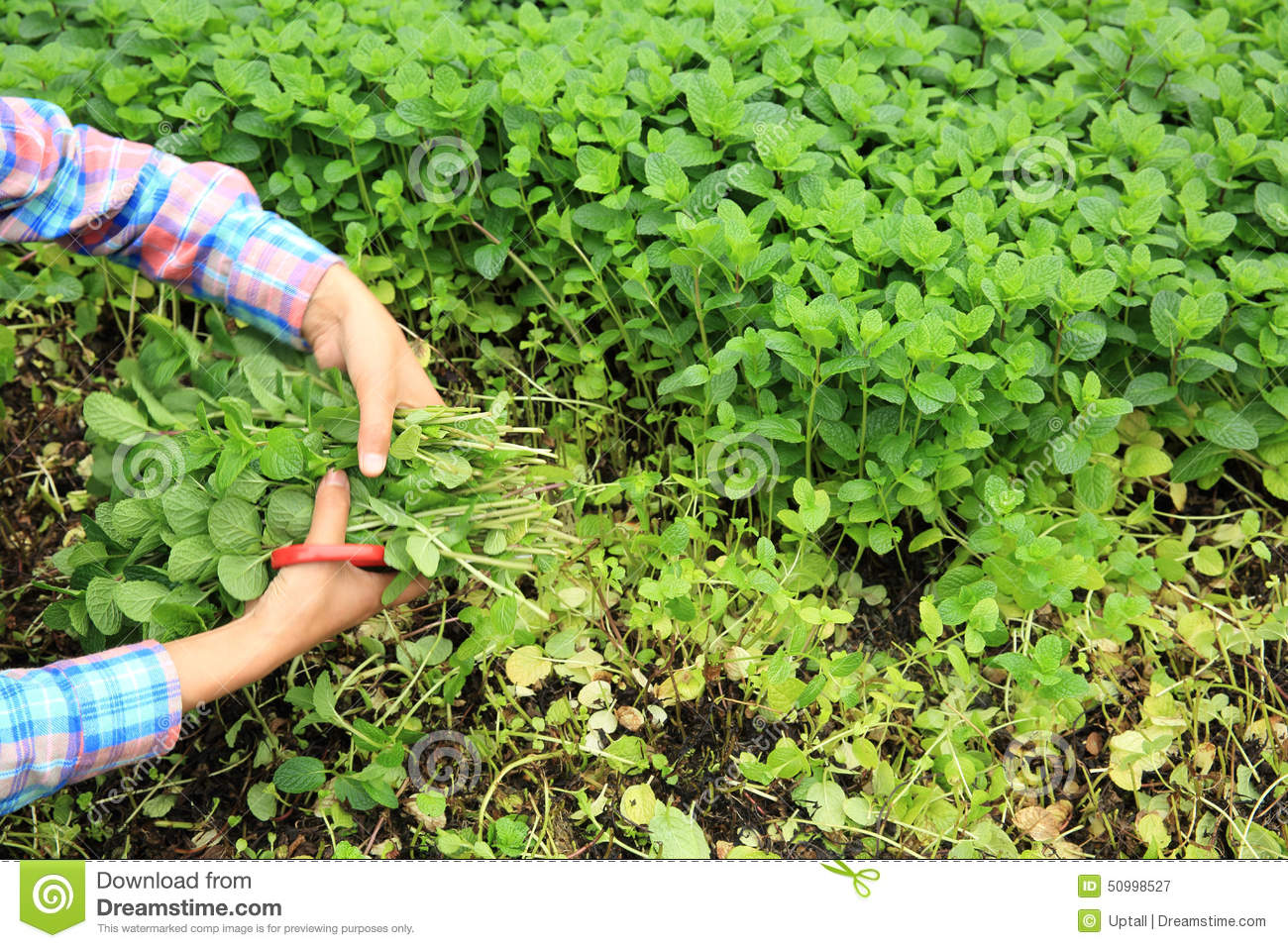 woman picking mint plants at vegetable garden stock photo  image, Natural flower