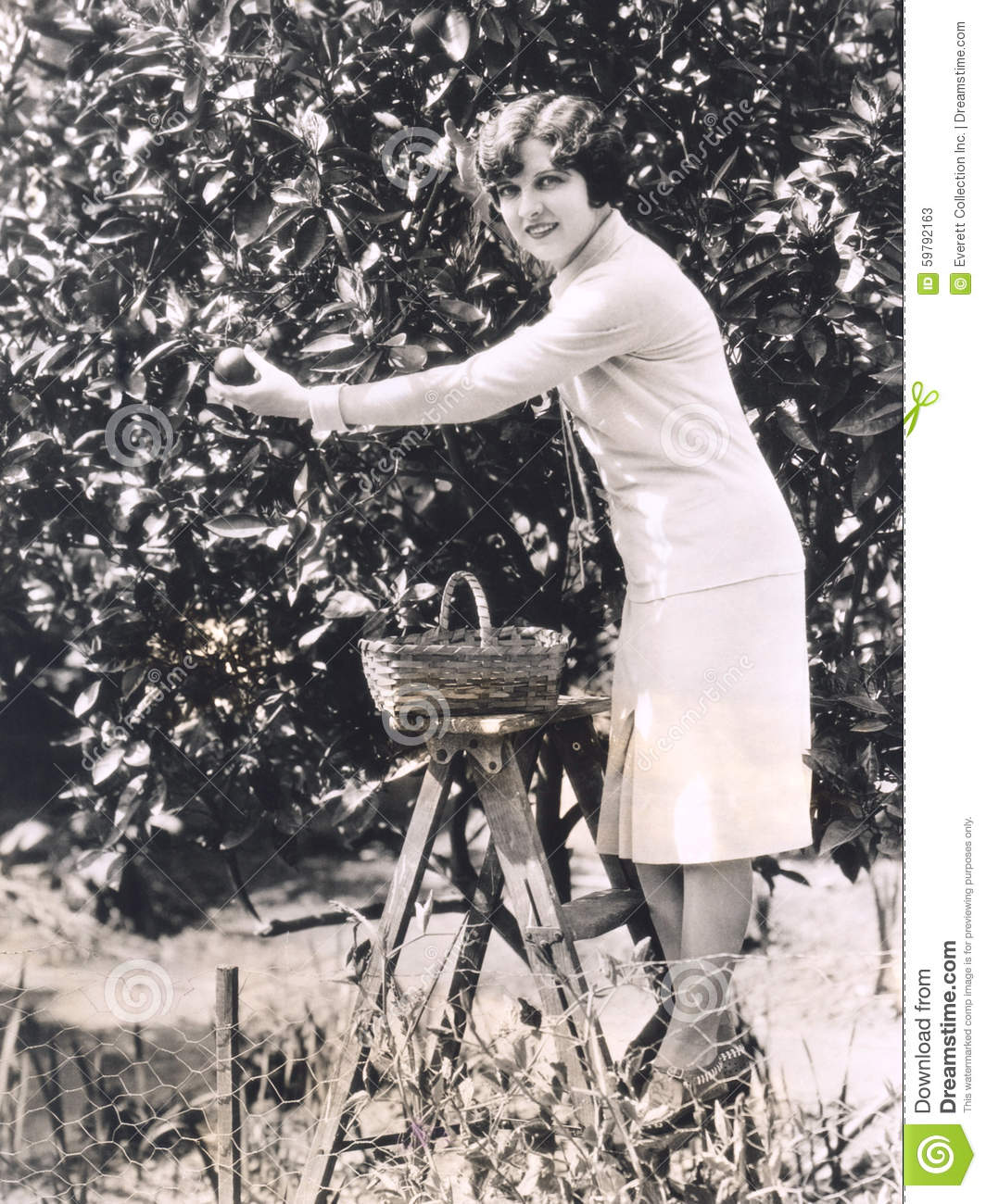 Woman picking oranges from a tree