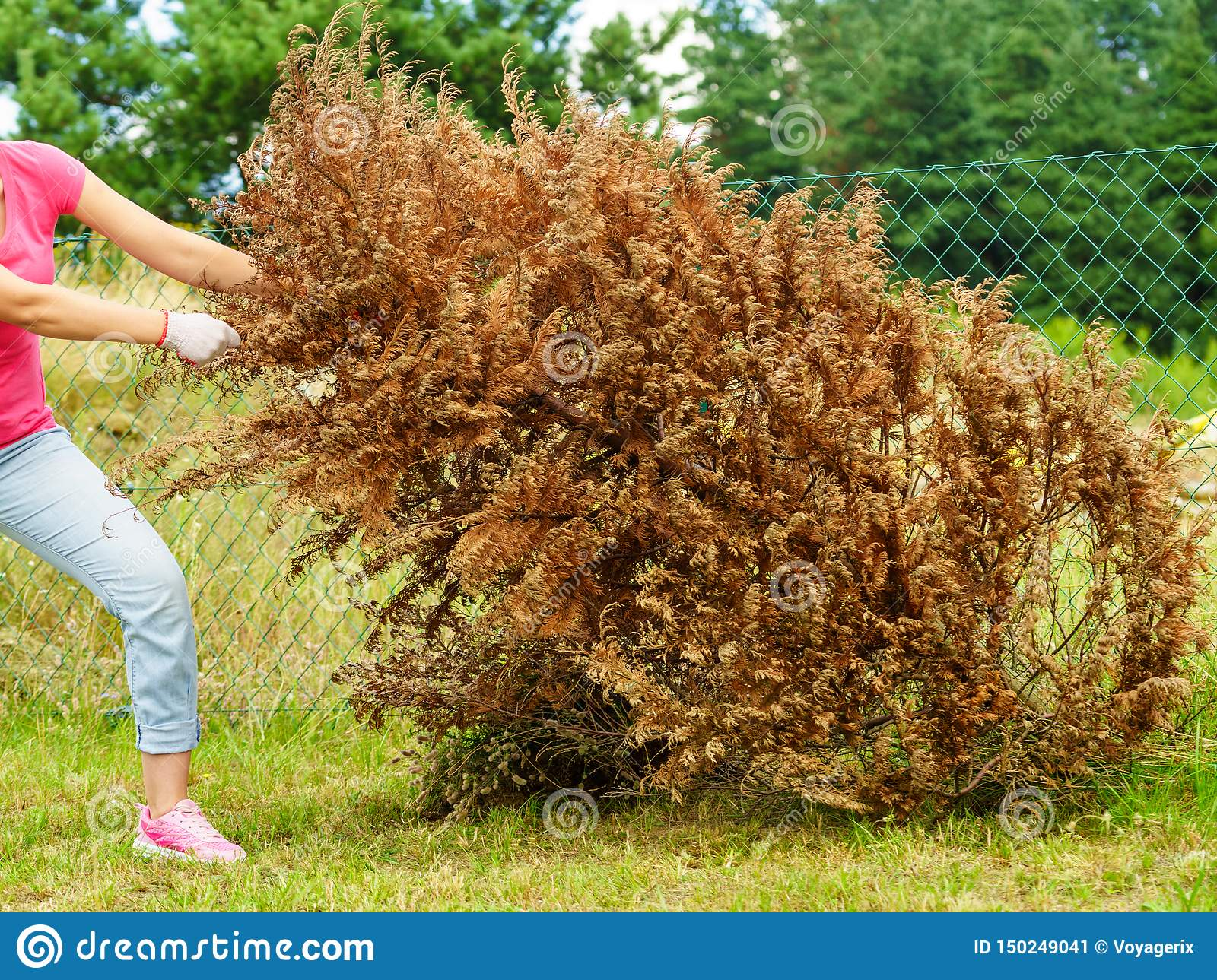 Woman Removing Dried Thuja Tree From Backyard Stock Image ...