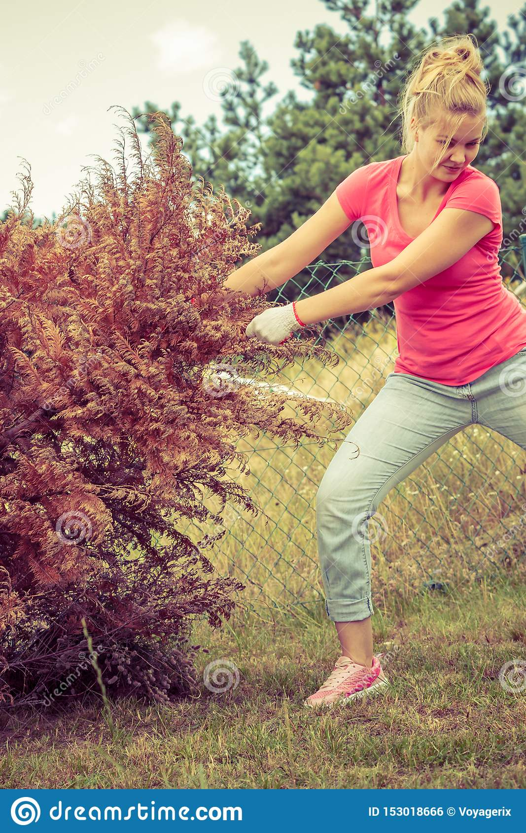 Woman removing pulling dead tree