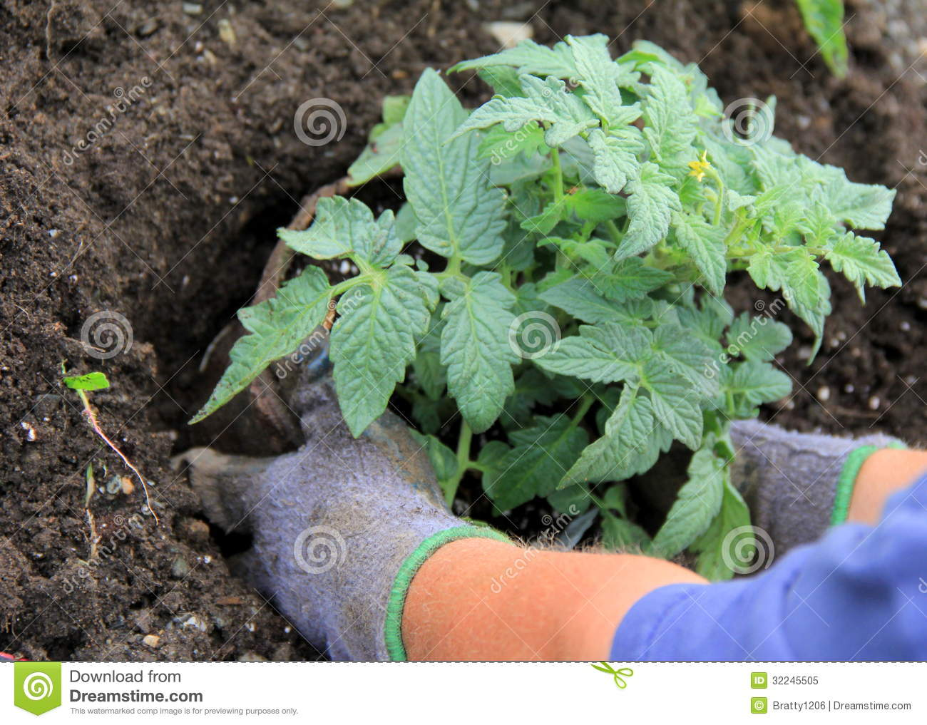 Woman S Gloved Hands Putting Tomato Plant In Ground Stock