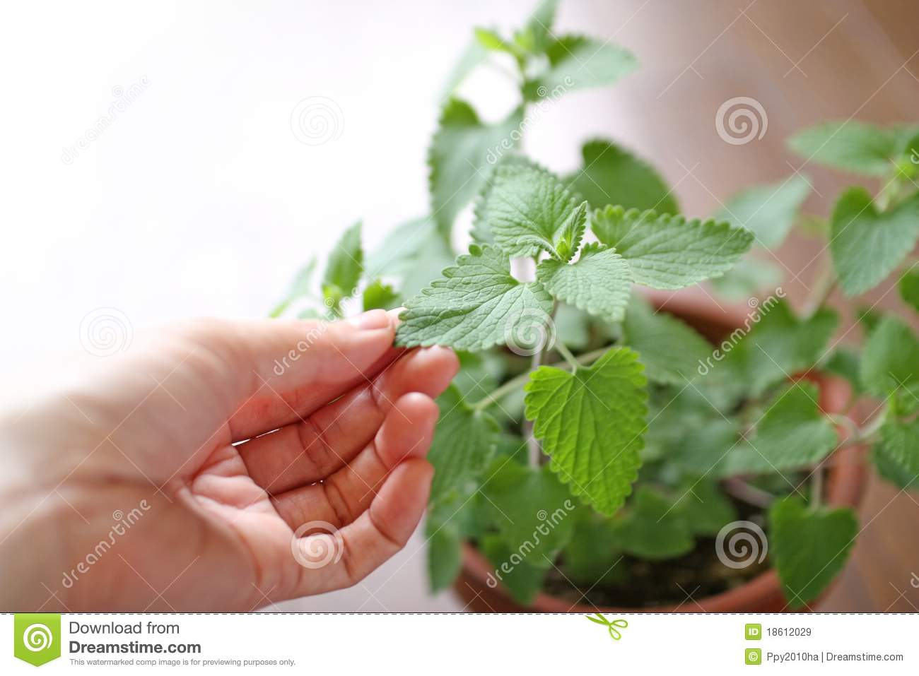 Woman s hand touching the herb leaves