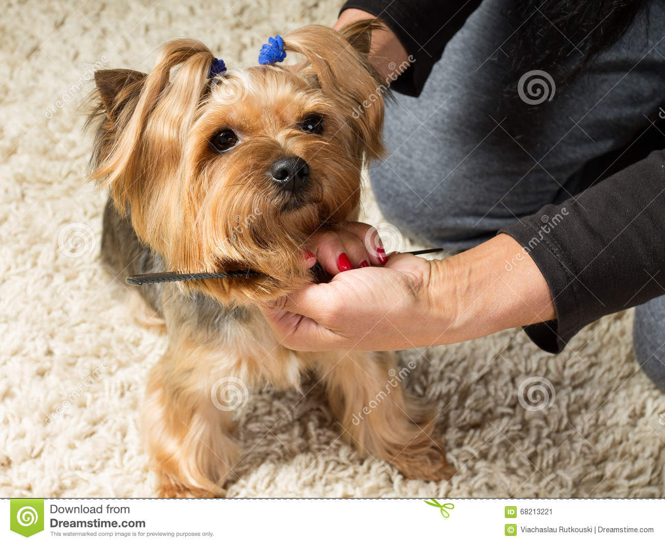 Woman S Hands Are Brushing Yorkshire Terrier S Muzzle With A Com