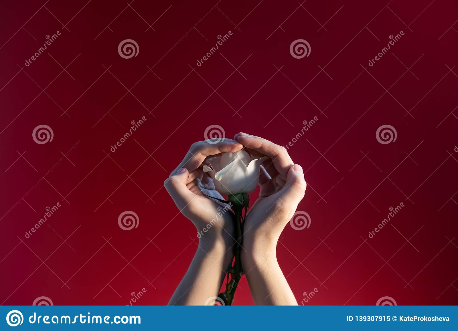 Woman`s hands with a rose on a red background