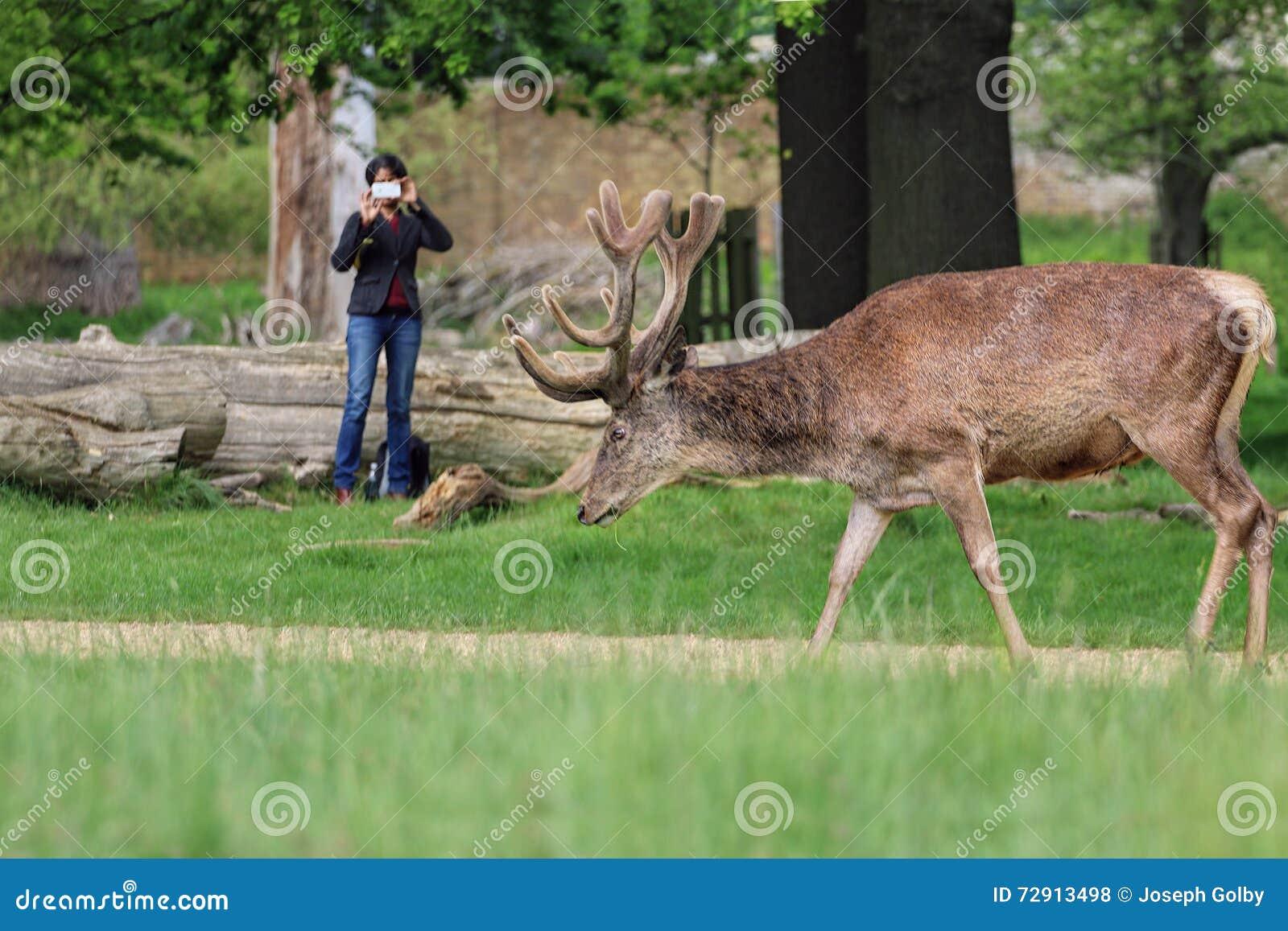 Woman takes photo of wild deer in park.