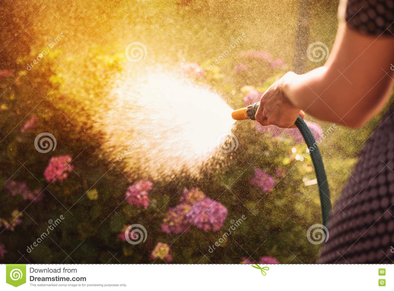 Woman watering a plant in the garden at sunset