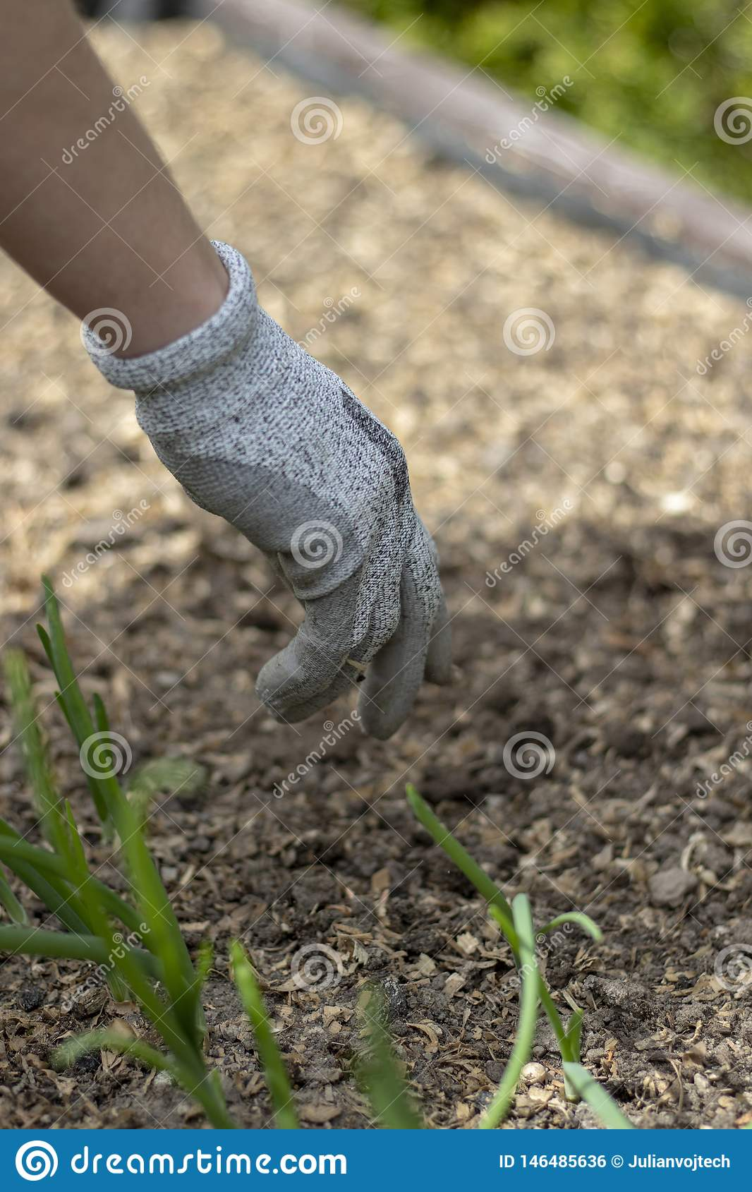 Woman wearing protective gloves, planting in the ground