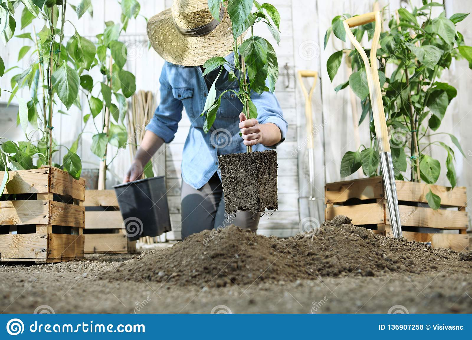 Woman work in the vegetable garden with hands repot and planting a young plant on soil, take care for plant growth