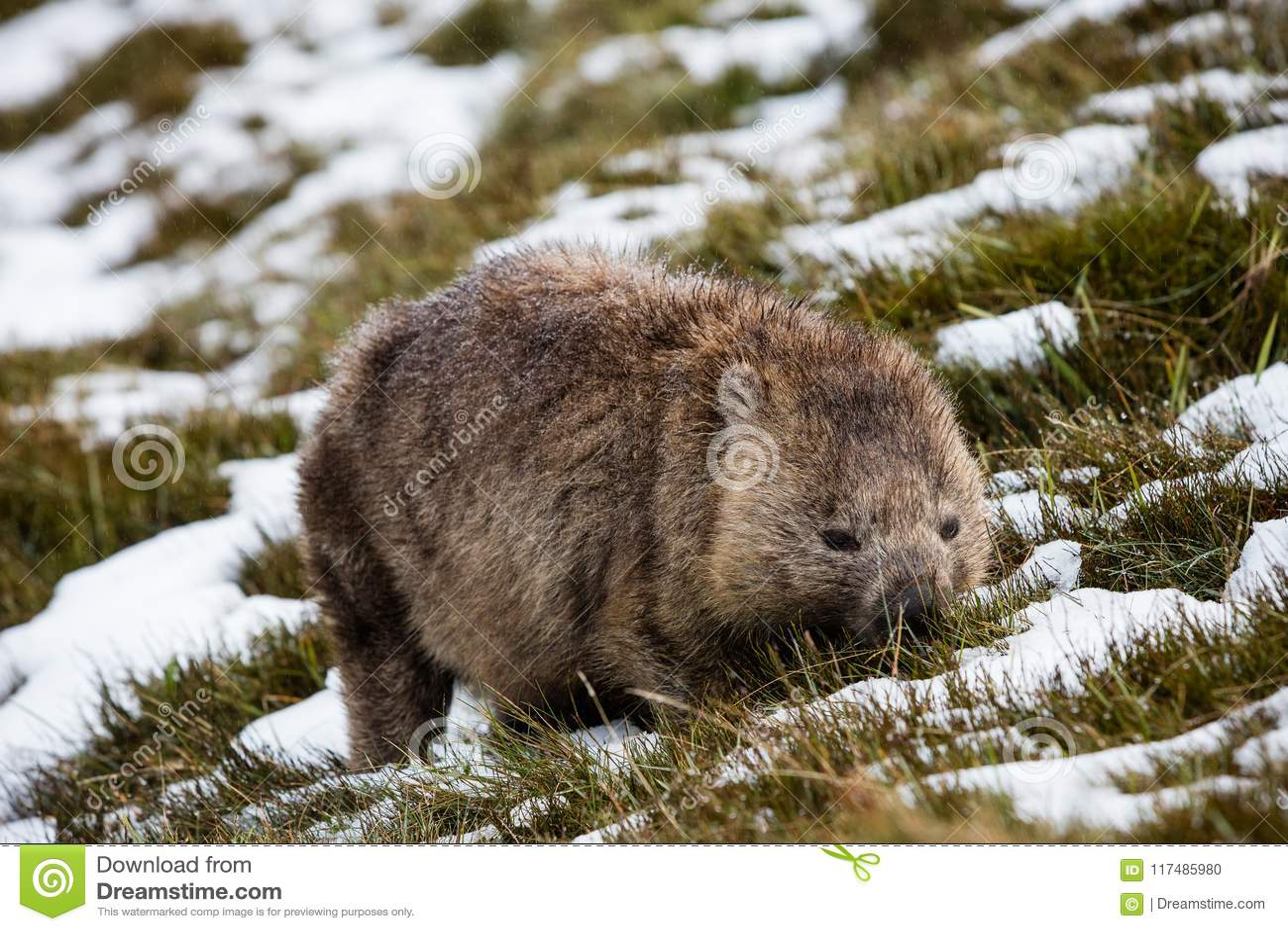 Wombat forageant dans la neige au parc national de montagne de berceau, Tasmanie