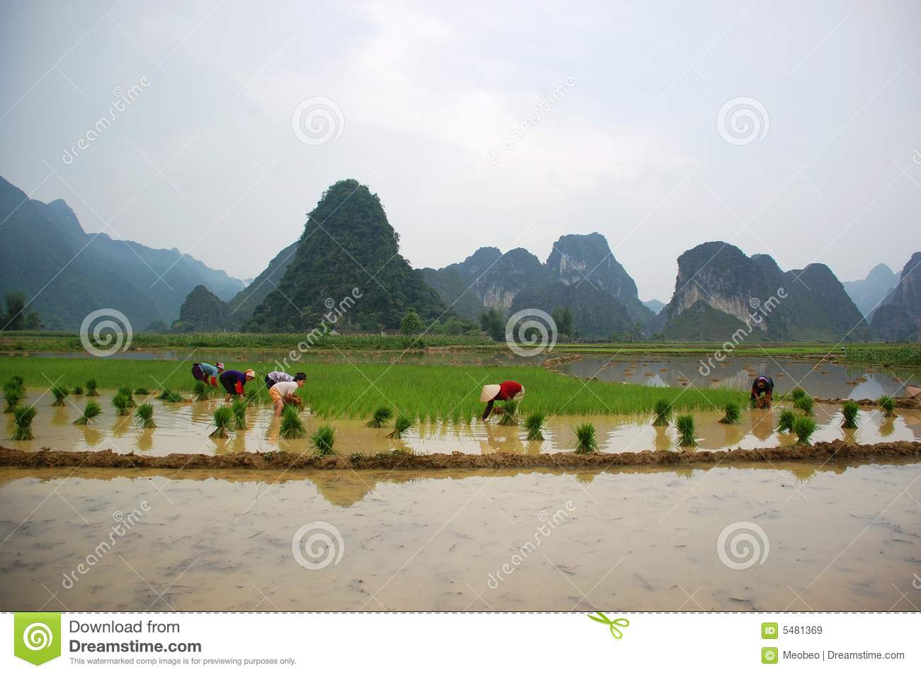 Women are growing rice on the valley