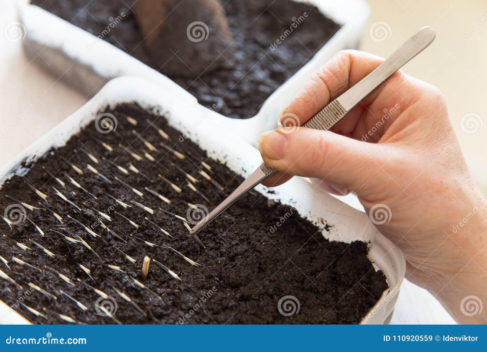 Planting flowers seeds in soil in spring closeup
