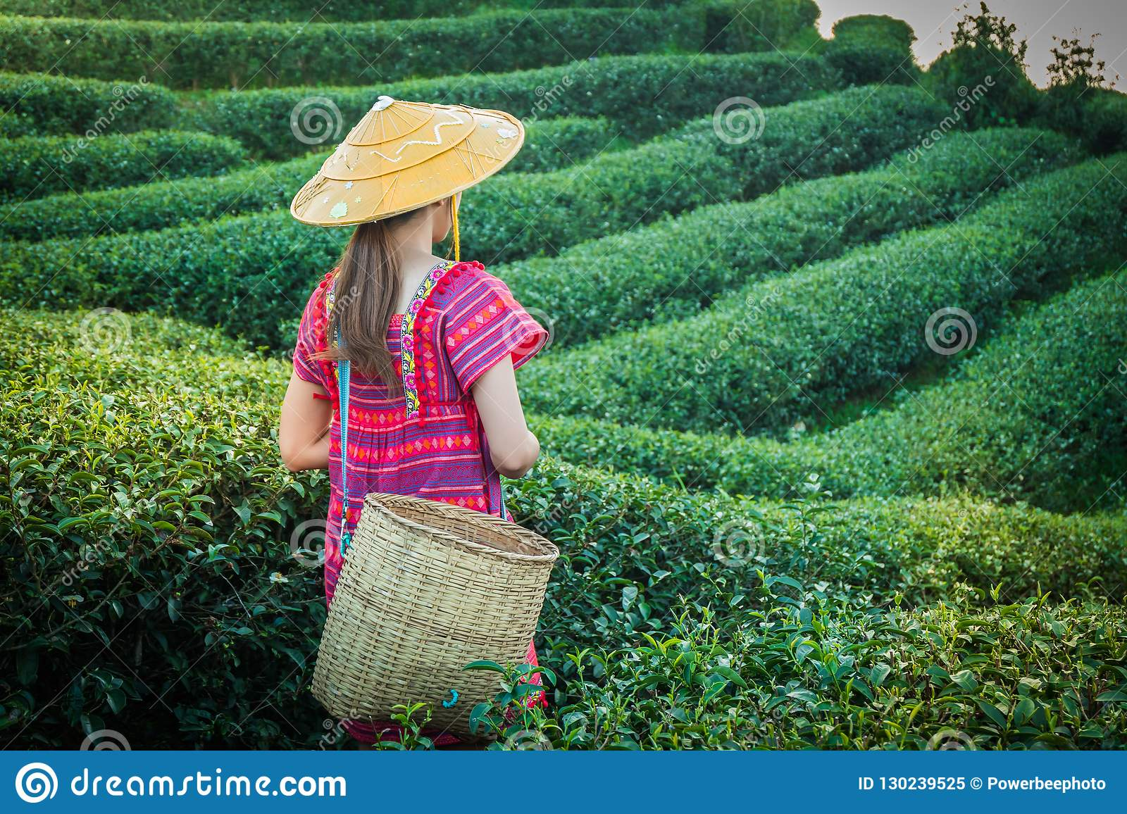 Women in local hill tribe holding young green tea leaves on hill in the evening with sunset ray at Doi Mae Salong Mae Fah Luang Ch