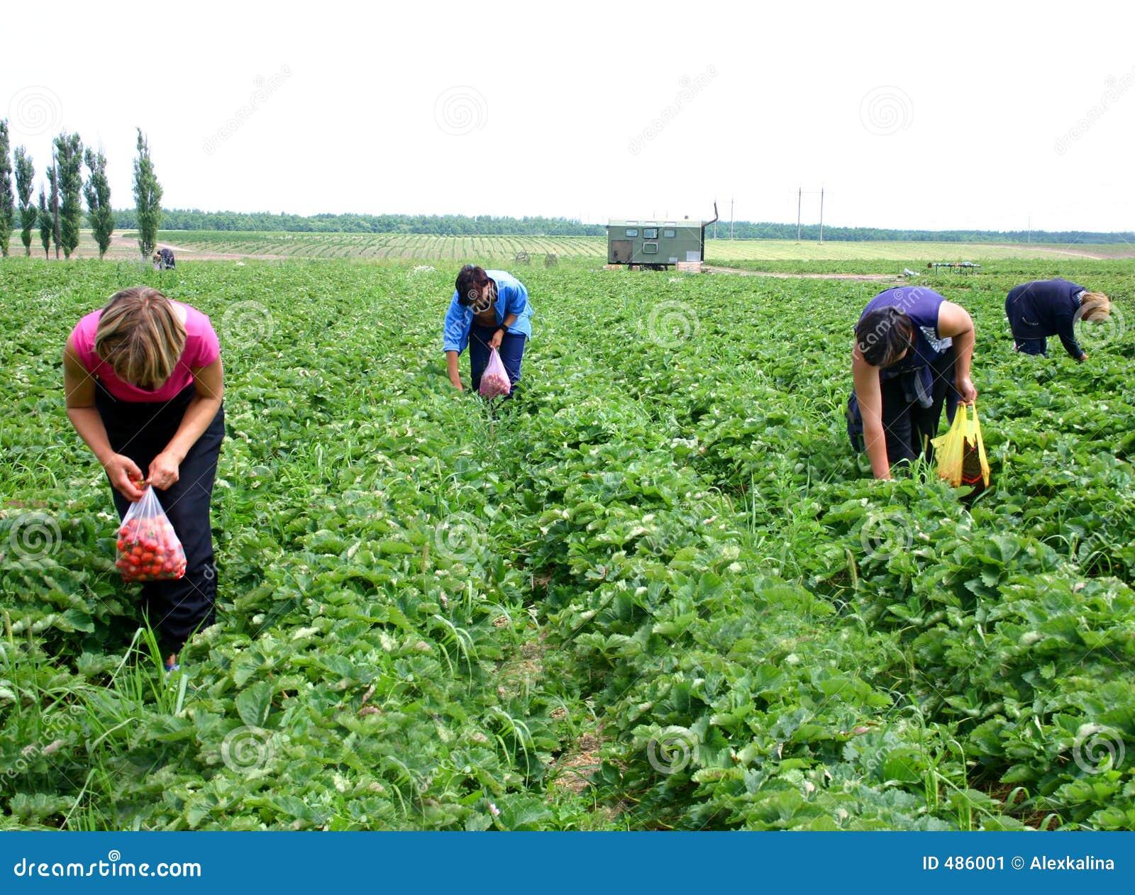 Women pick berries of strawberry