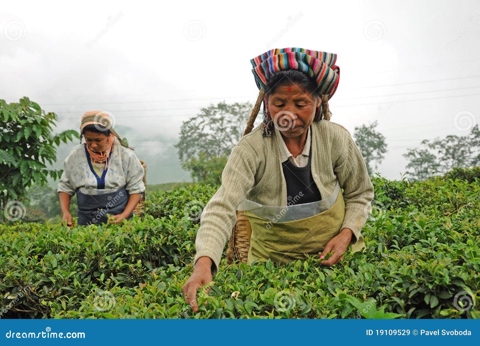 Women pick tea leafs, Darjeeling, India