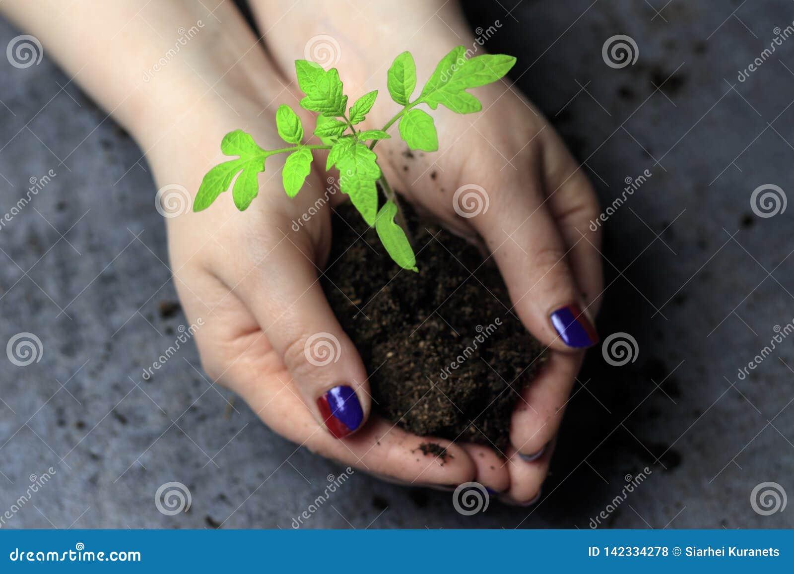 Women& x27; s-händer Målat spikar håll en handfulljord i den spirar Denna är en tomat