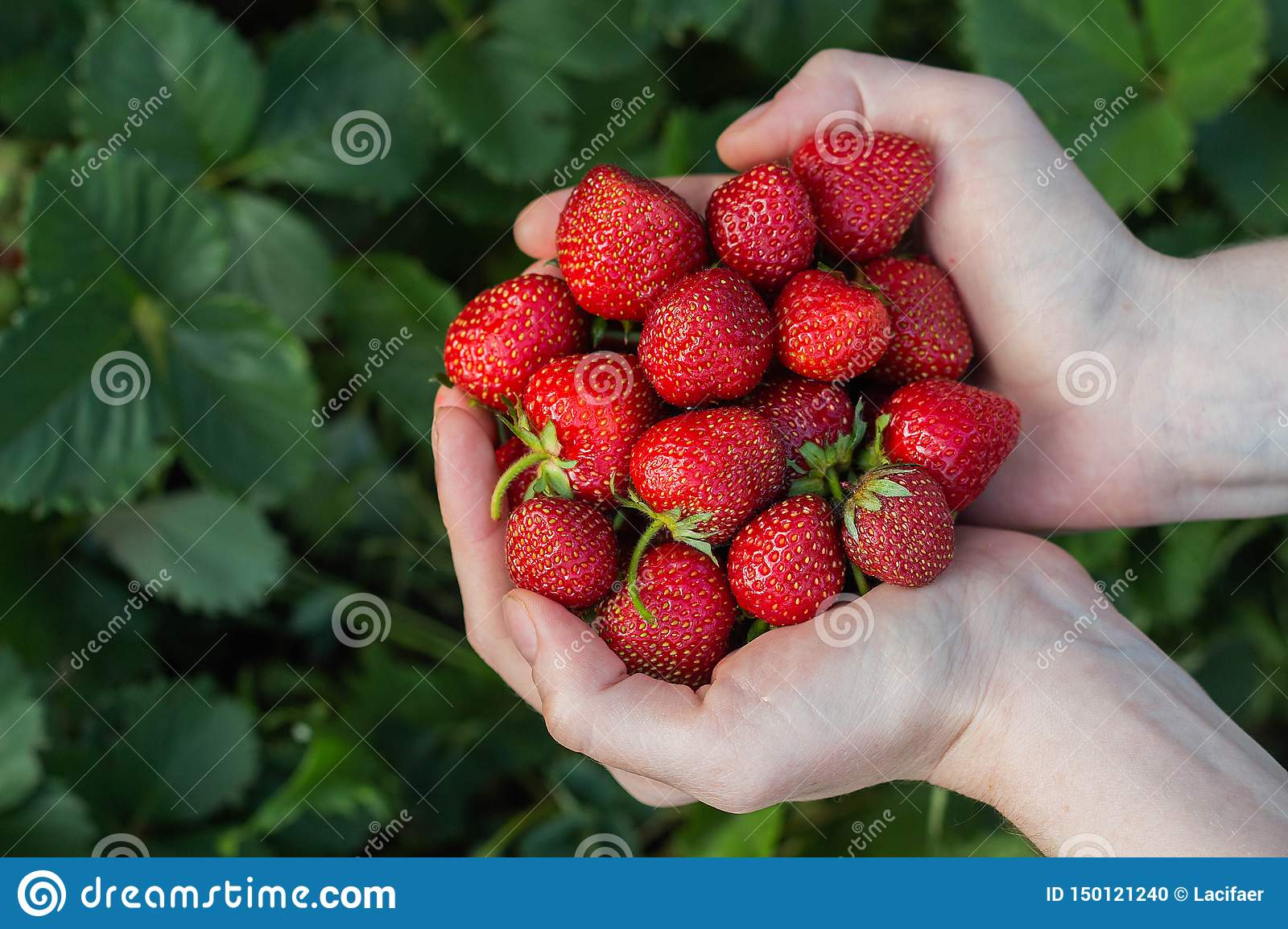 Women& x27;s hands hold a handful of fresh strawberries