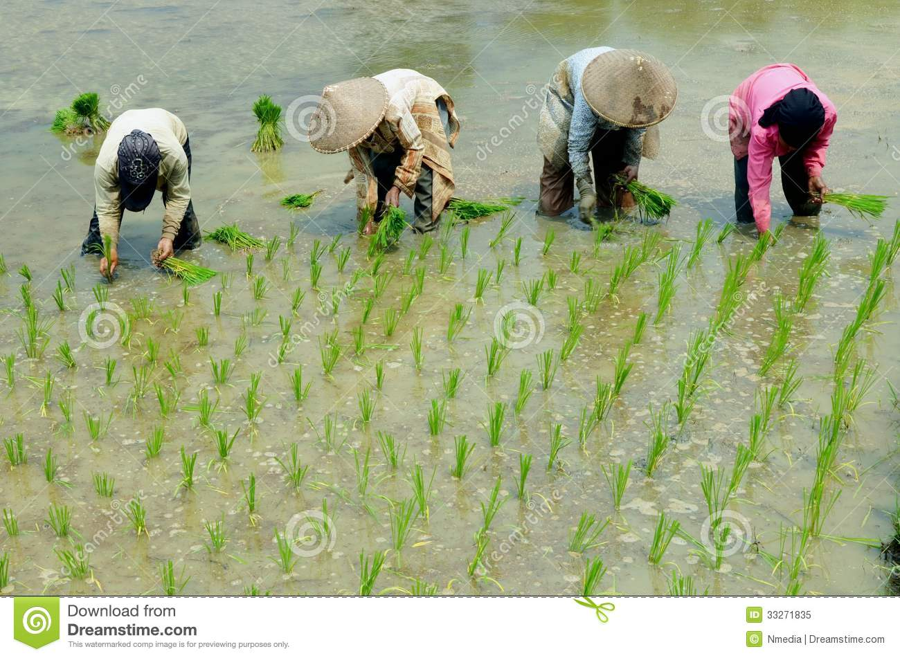 Women workin on rice field editorial image image 33271835