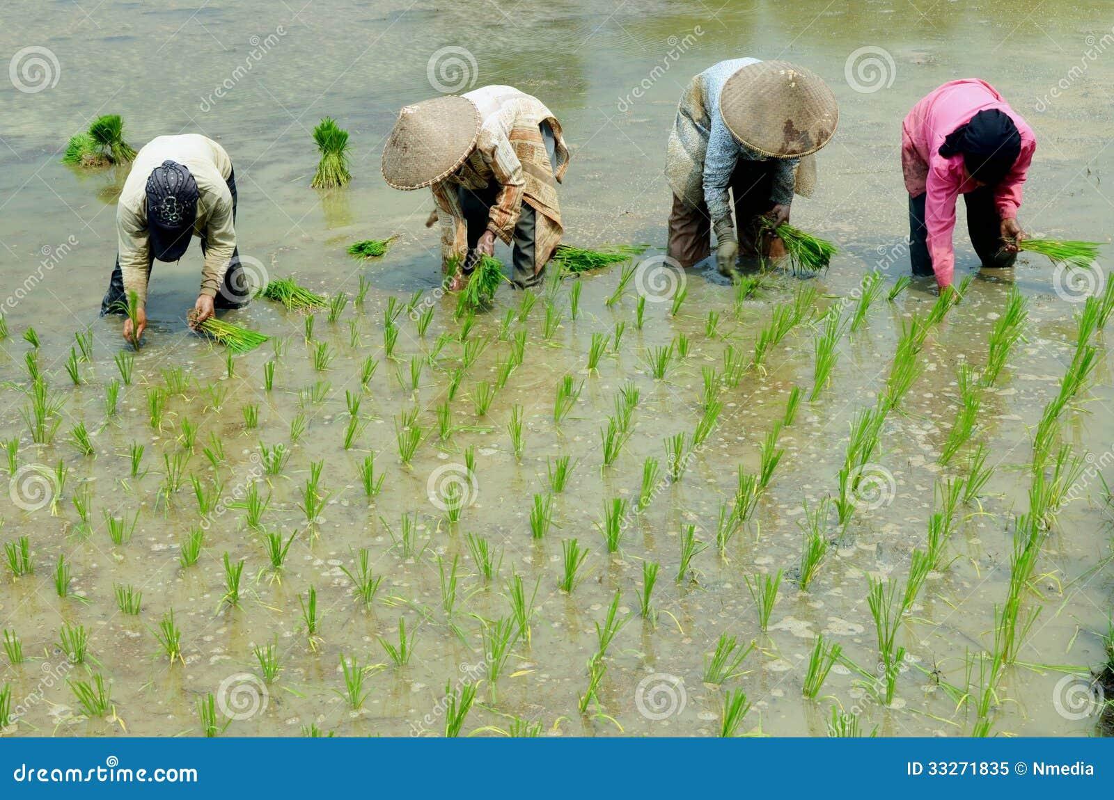Women Workin On Rice Field Editorial Image Image 33271835