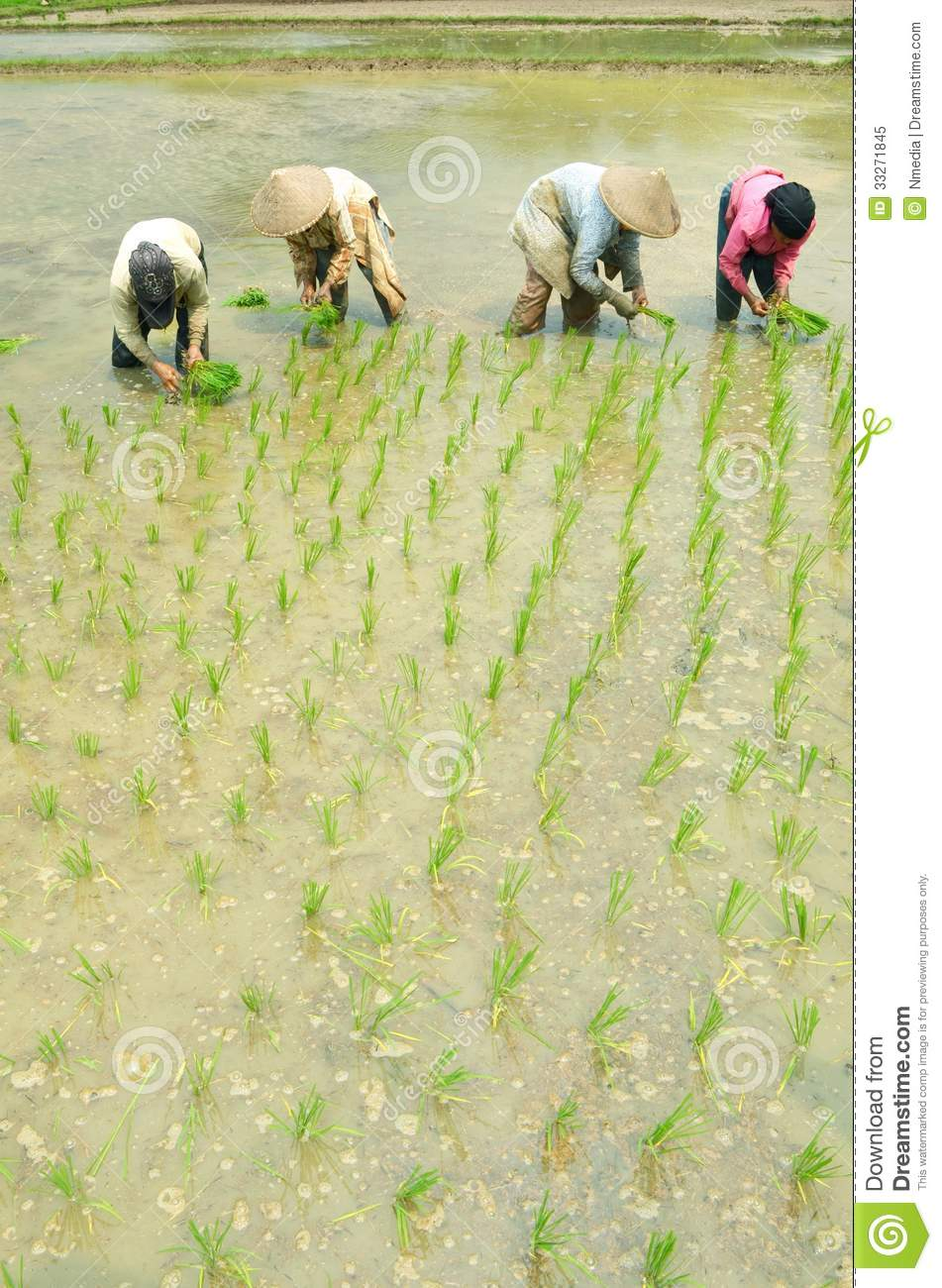 Women workin on rice field editorial image image 33271845