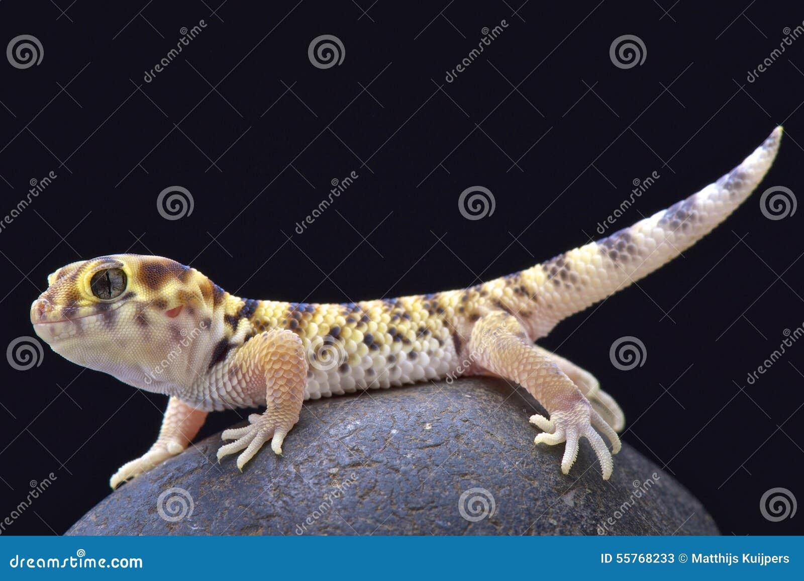 Wonder gecko (Teratoscincus scincus)
