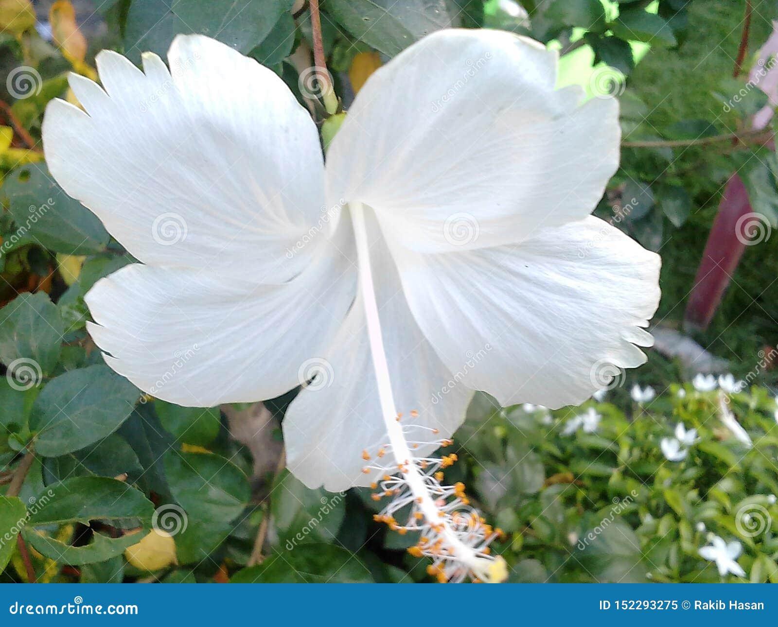 Wonderful And Beautiful White China Rose Stock Image Of 152293275