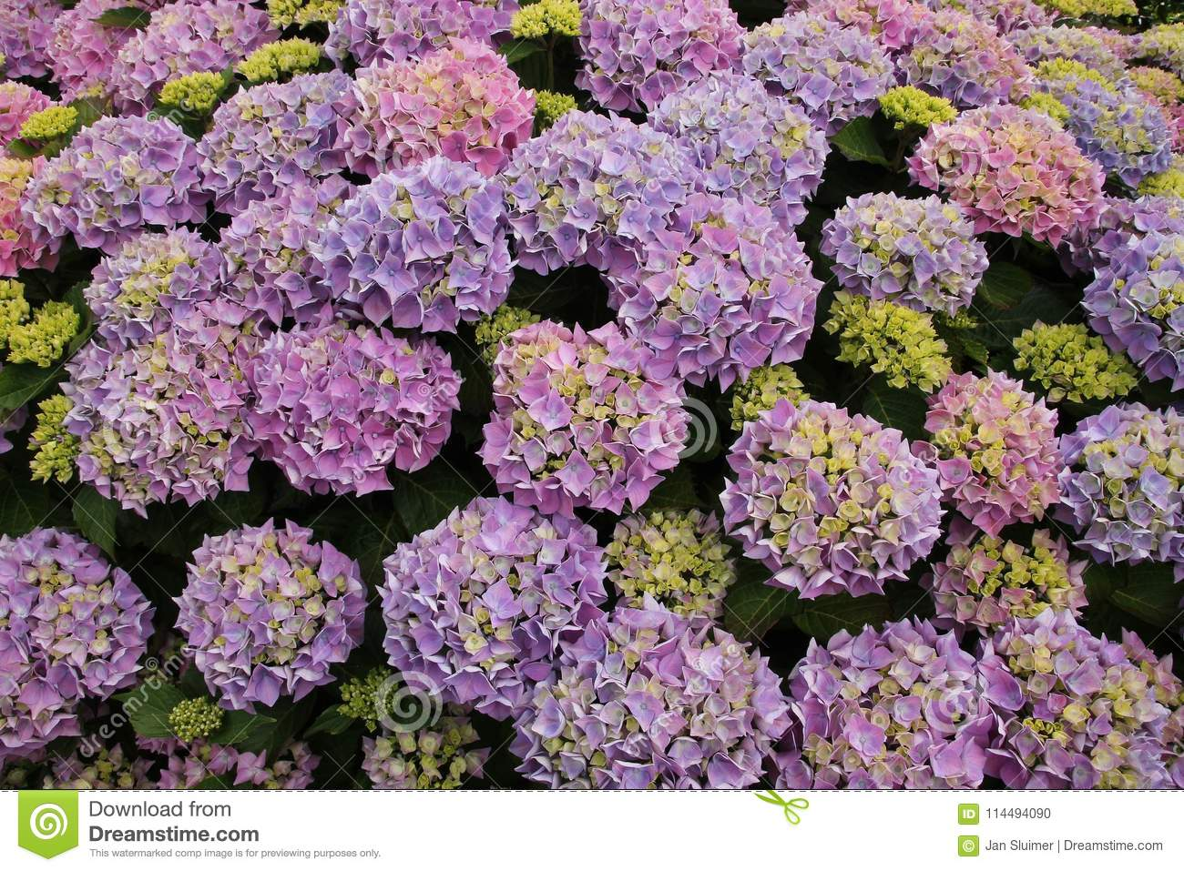 Blooming hydrangea in different colours in the garden in the summer.