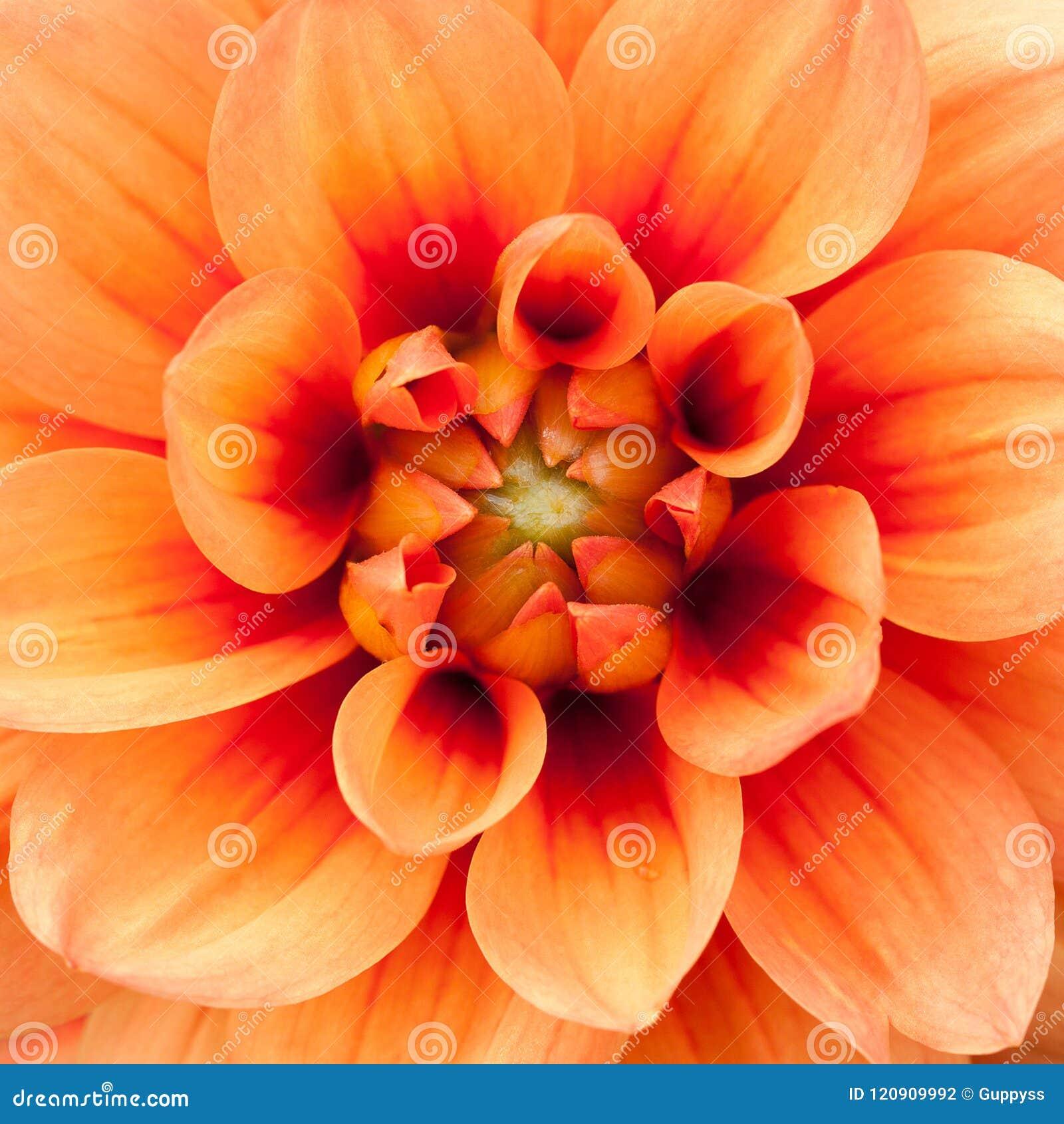 Wonderful Bright Orange Dahlia Stock Photo Image Of Dahlia Flower