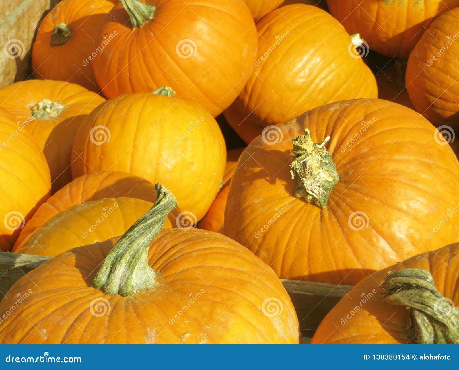 Wonderful golden yellow orange pumpkins on a happy sunny day