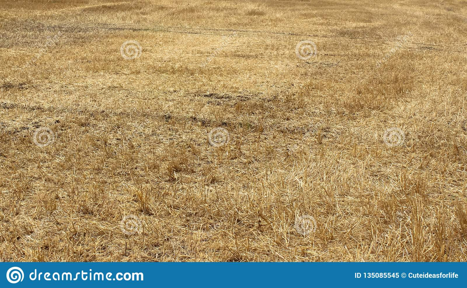 Yellow fields of wheat after harvest