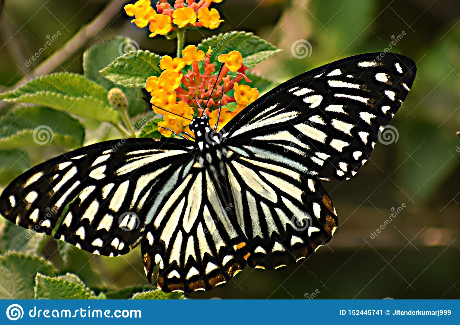 Sưu tập Bộ cánh vẩy 2 - Page 62 Wonderful-oriental-common-mime-papilio-clytia-clytia-butterfly-its-amazing-butterfly-its-too-similar-to-common-mime-butterfly-152445741